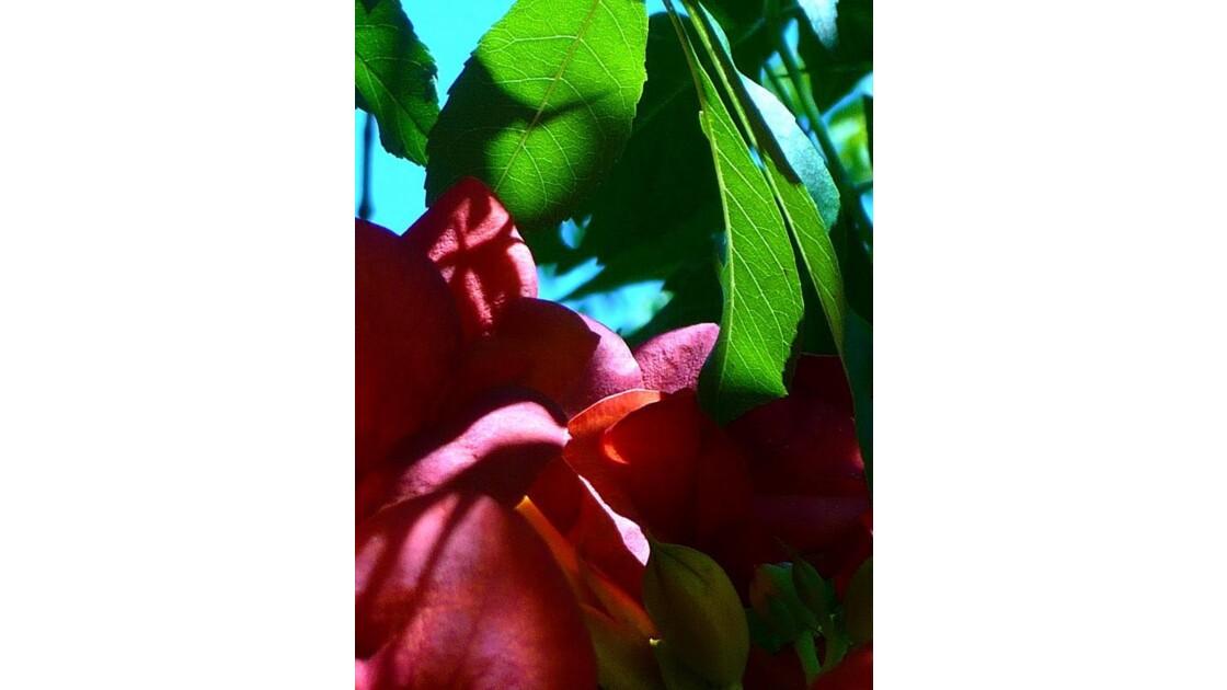 fleurs de Bignone