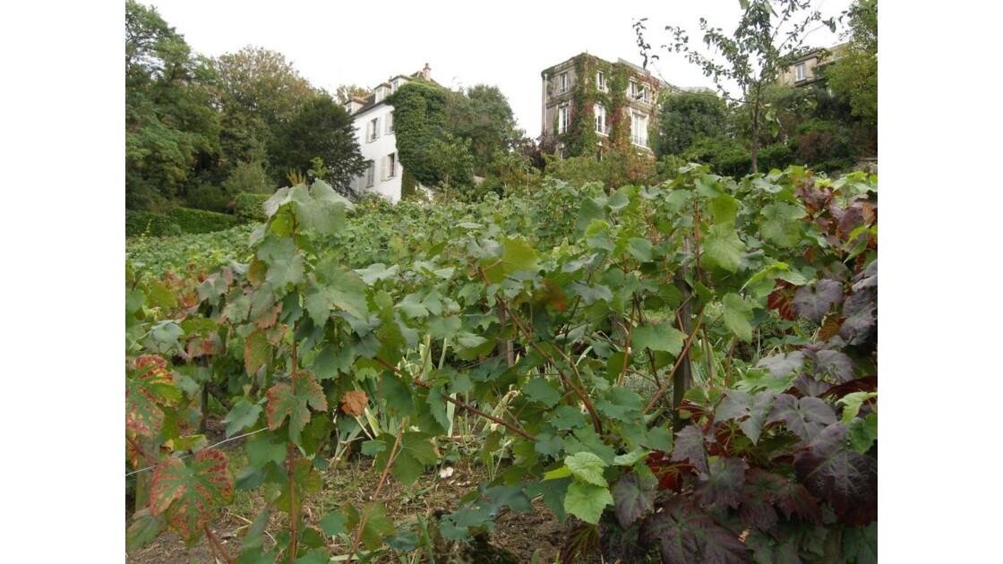 Vignes à Montmartre