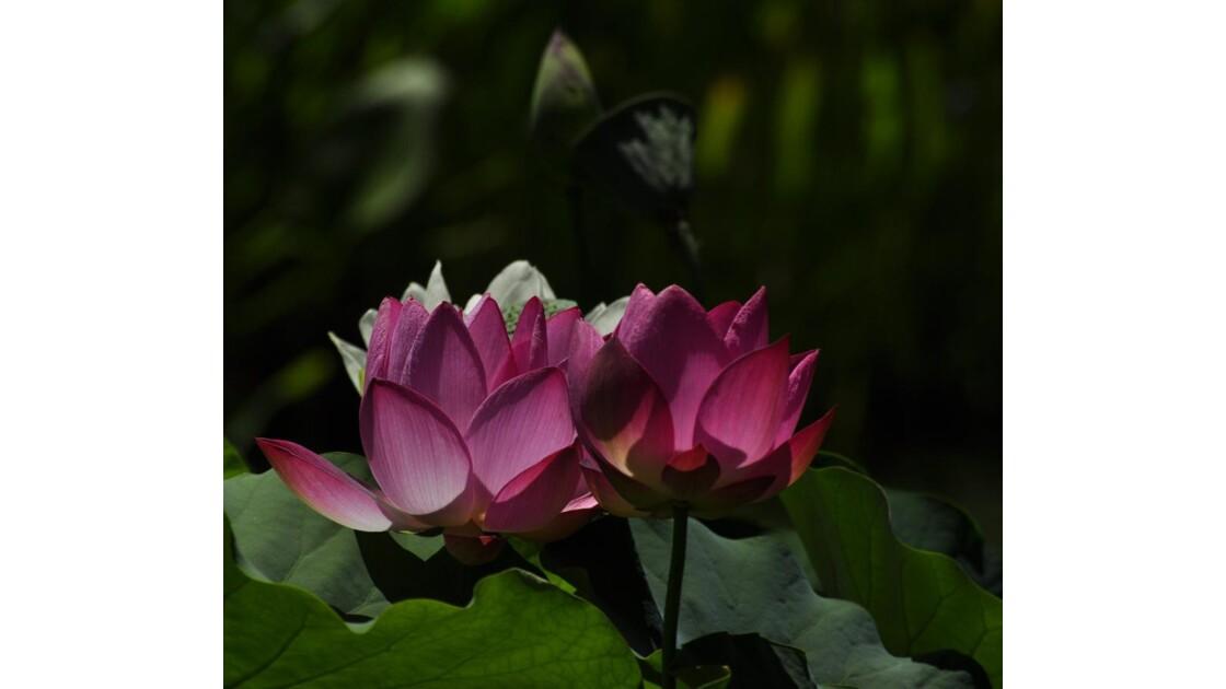 _DSC0973.JPG Nénuphars roses