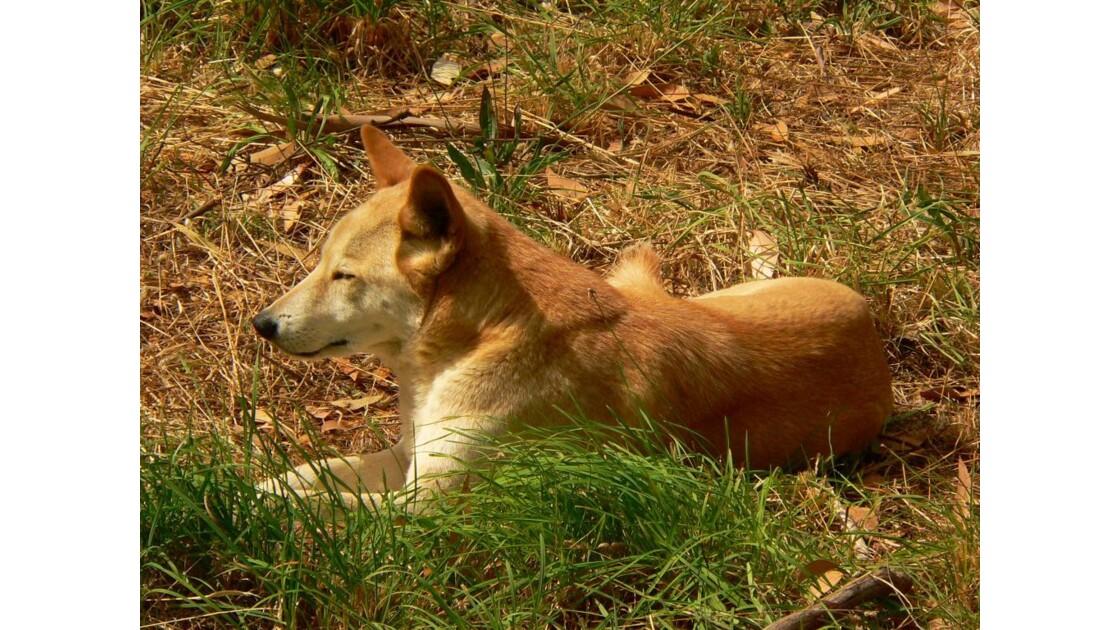 dingo-australie 2