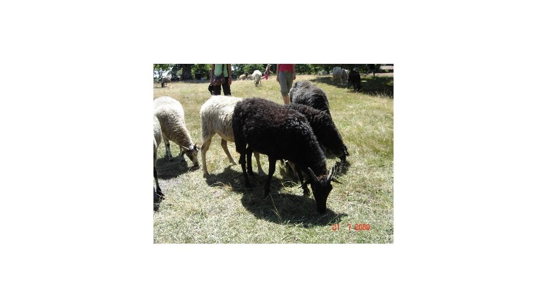 10 - les moutons de Marquèze..JPG