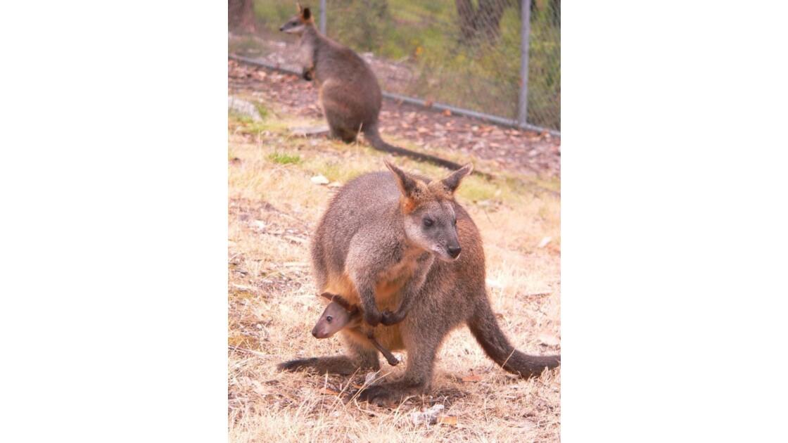 coucou-australie 57