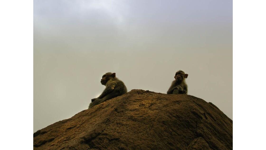 SInges macaques ur la colline Thiru MOg