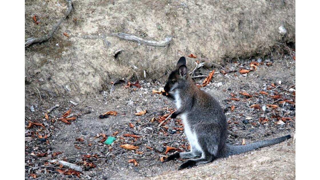 Jeune kangourou.