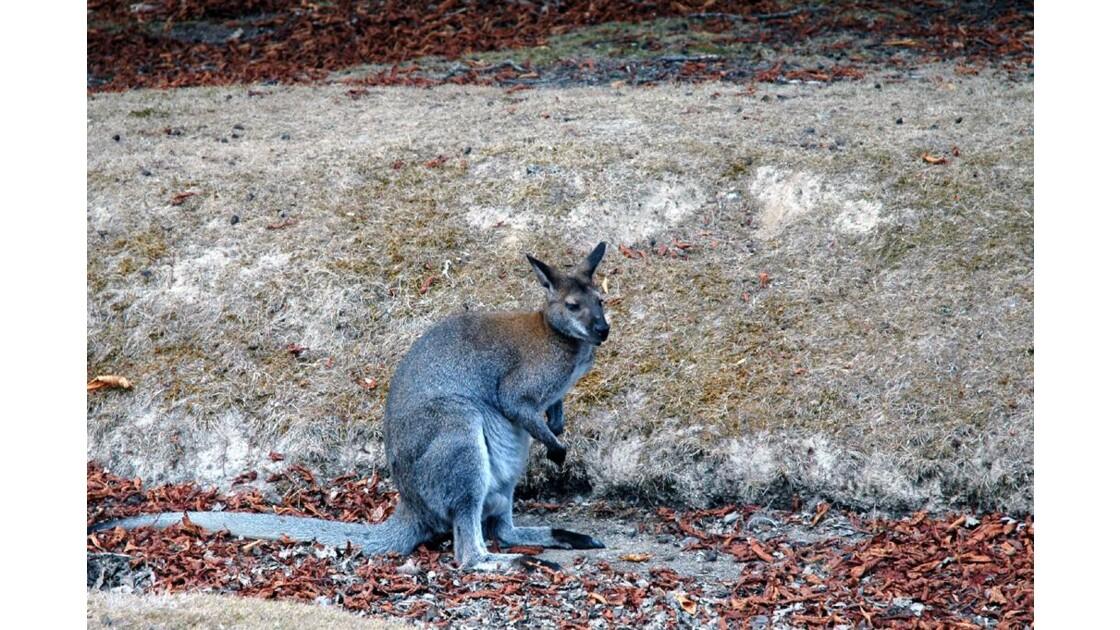 kangourou.