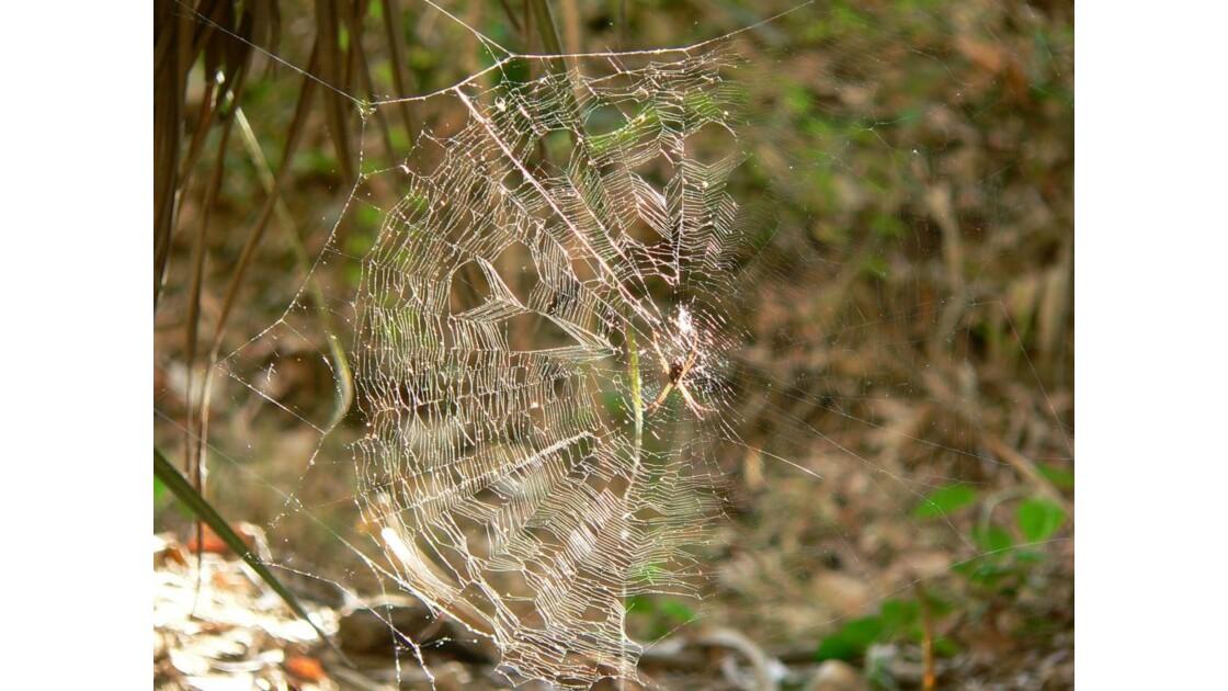 araignée dans le bush-australie 62