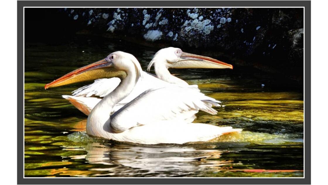 Pelicans_2.jpg
