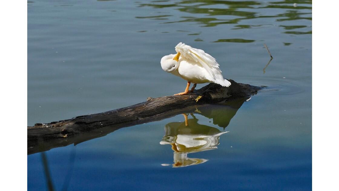 Canard blanc toiletté 0029