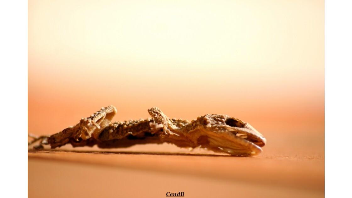 Cadavre de gecko ...