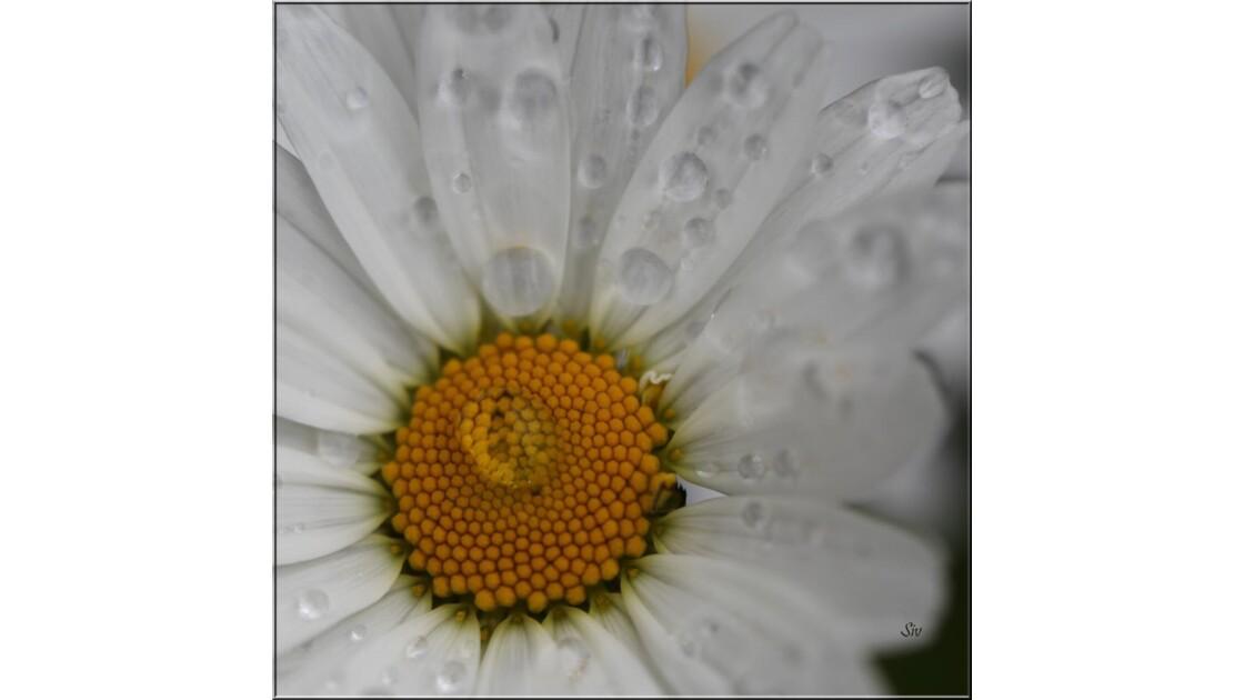 Marguerite dans la pluie