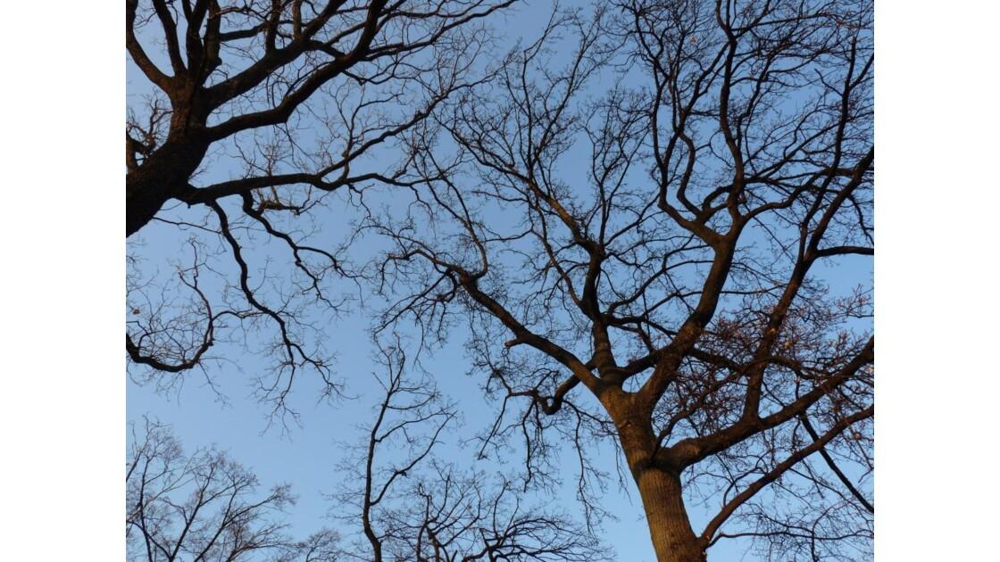 Platanes sur ciel bleu