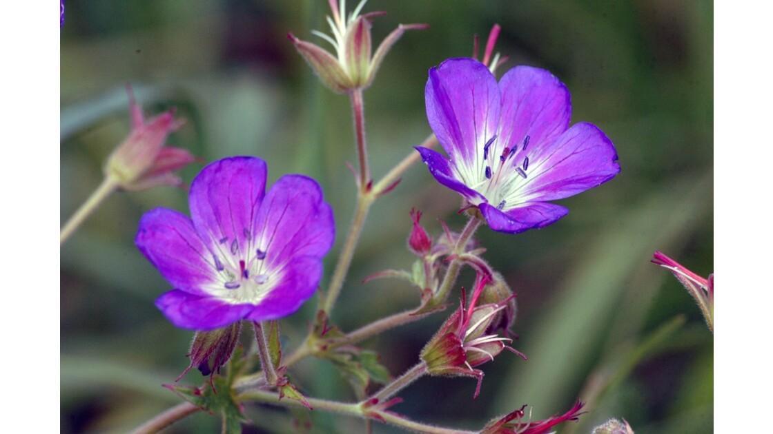 Fleurs de montagne ...