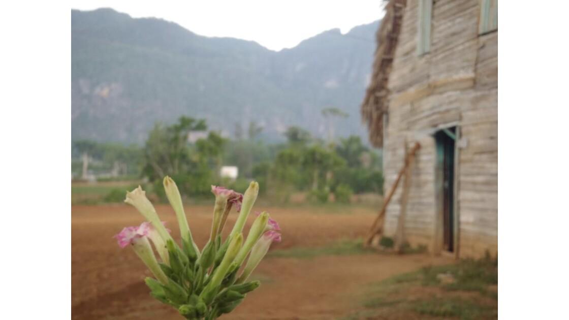 Tabac - Vallée de Vinales - Cuba