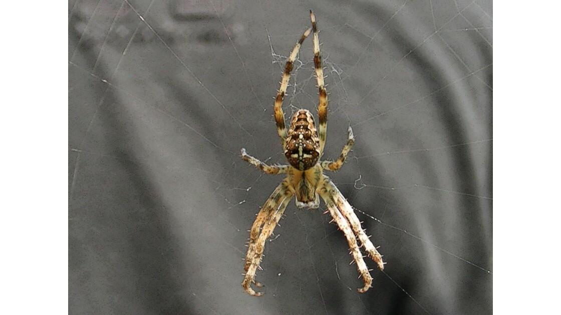 Araignée (4) - Epeïre porte croix