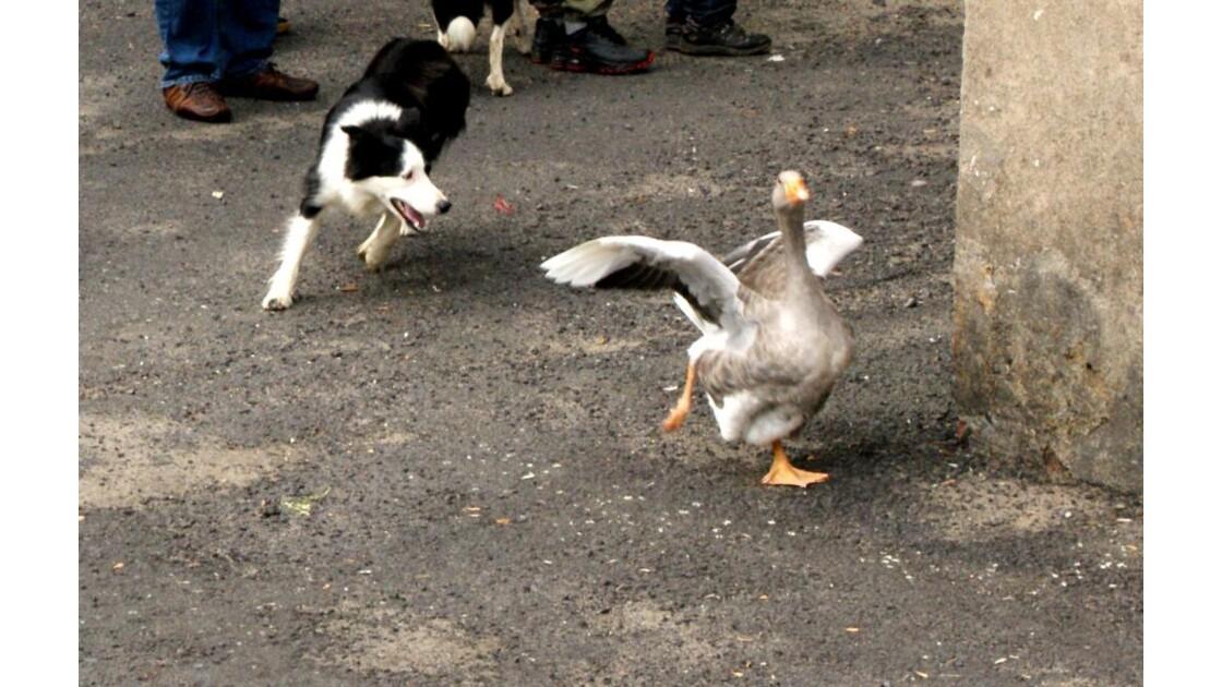 oie et chien