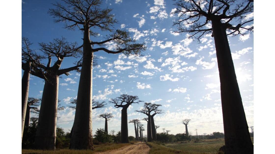 l'Allée des baobabs, Morondava