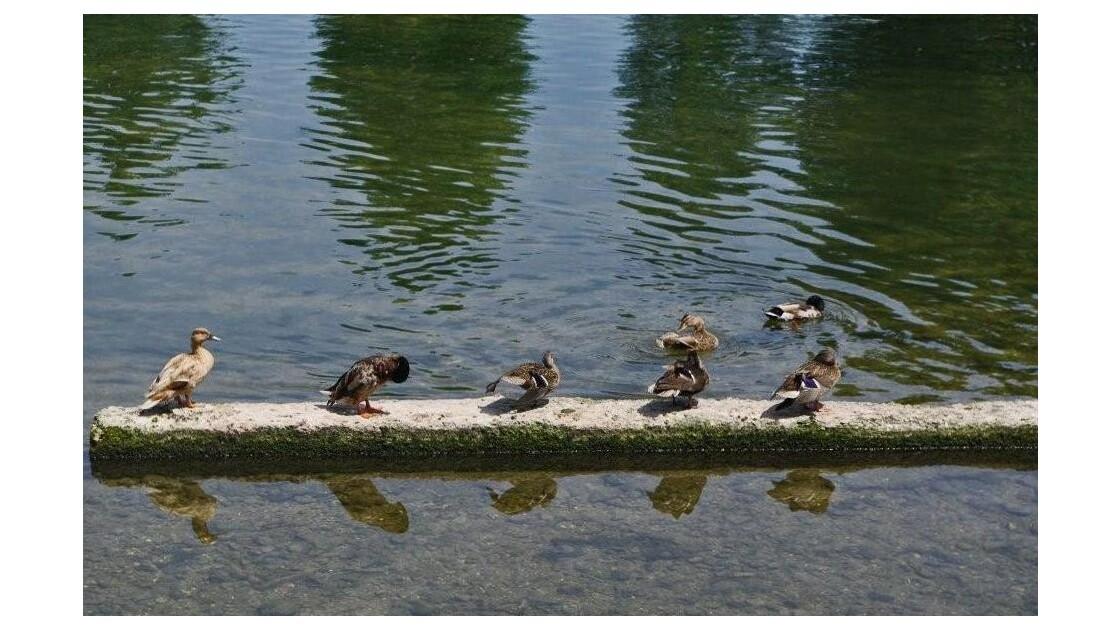 la salle de bains des canards
