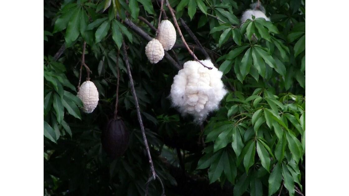 Madère Funchal Chorosia speciosa.JPG