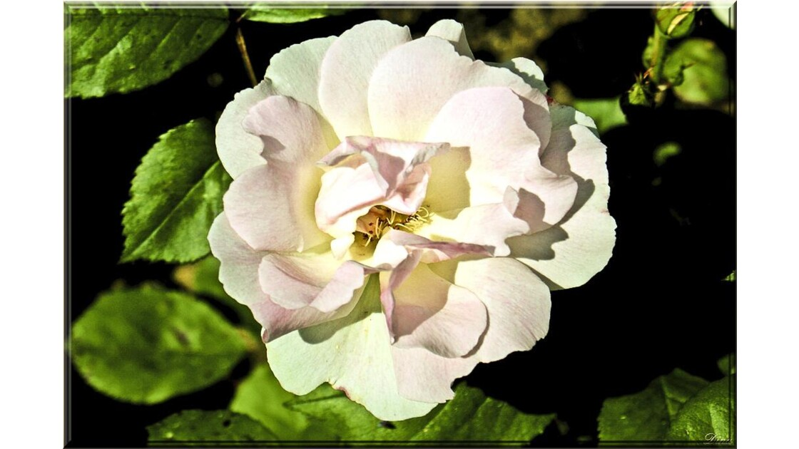 Rose - Dagmar Spath