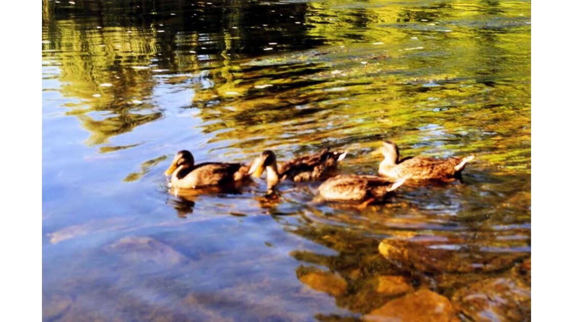Canards sur la Vézère