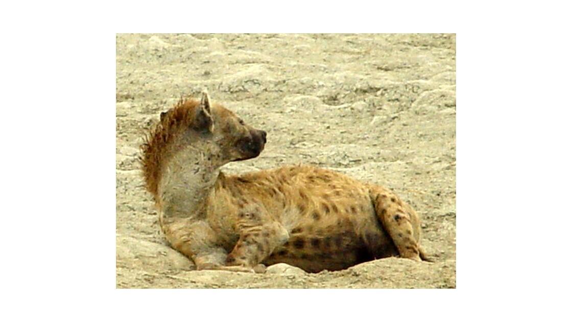C' hyène de vie  ..... on ne peut pas...
