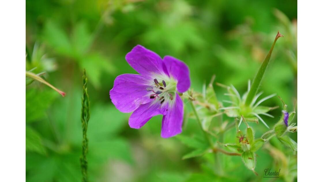 Fleur de montagne, macro