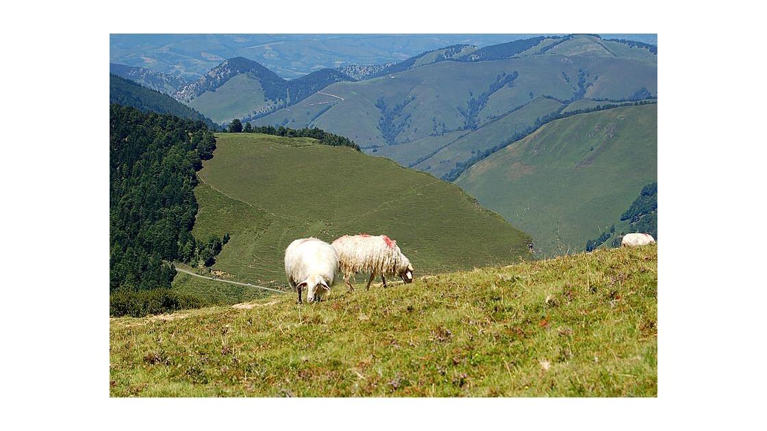 Moutons au col de la Pierre St Martin