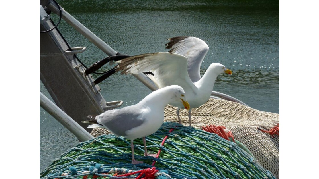 Goélands à bord (2)