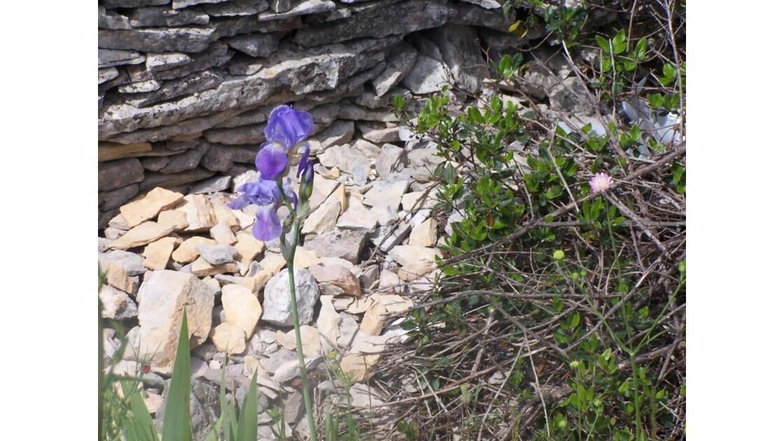 Iris au pied  du mur JPG