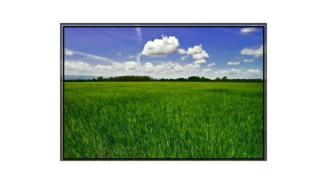 Étendue de jeune blé vert