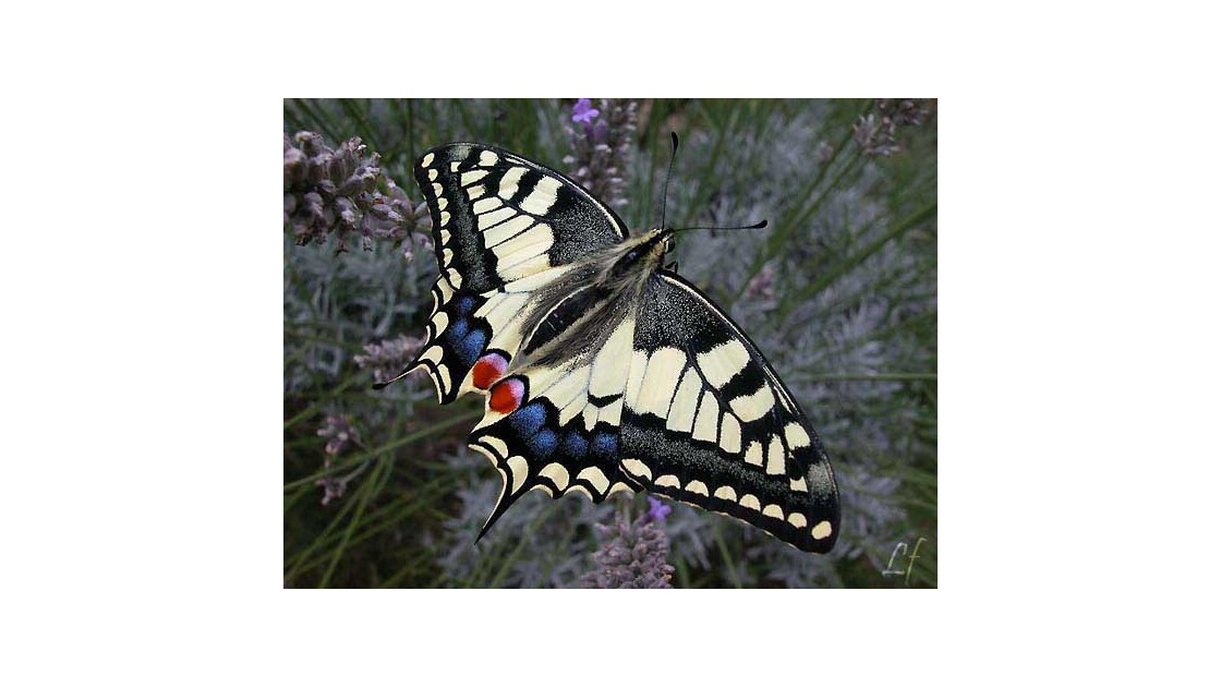 Machaon adulte