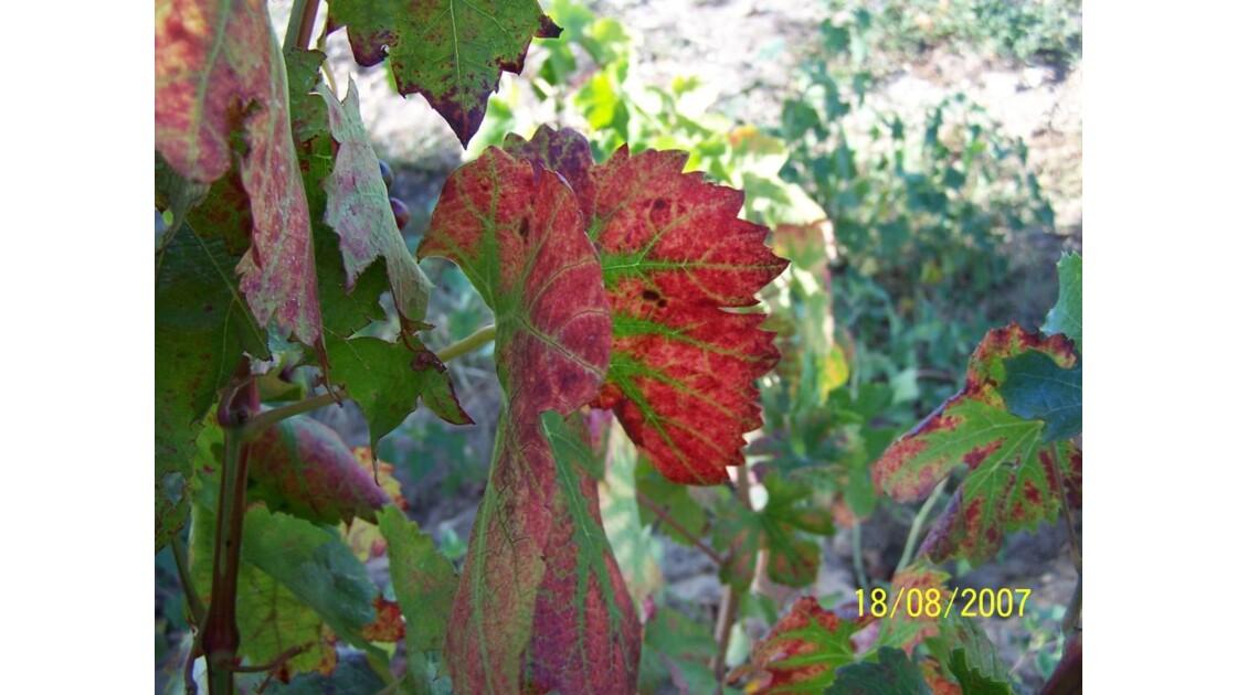 les feuilles de vignes