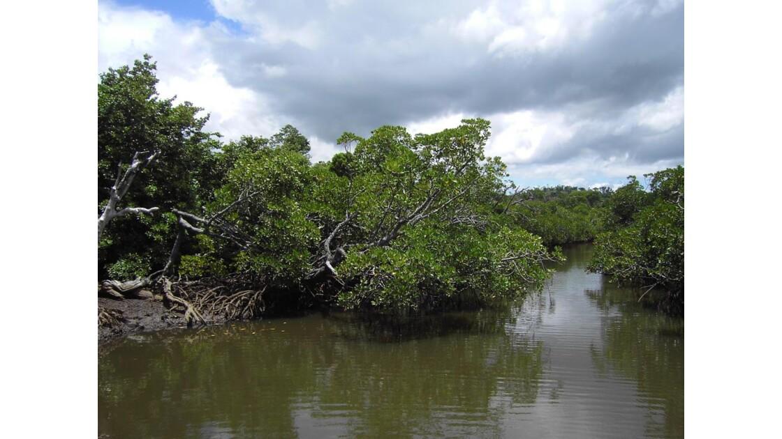 Mangrove près du Cap Est