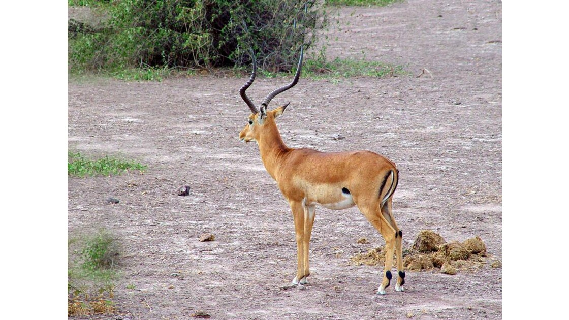 Amboseli :        impala