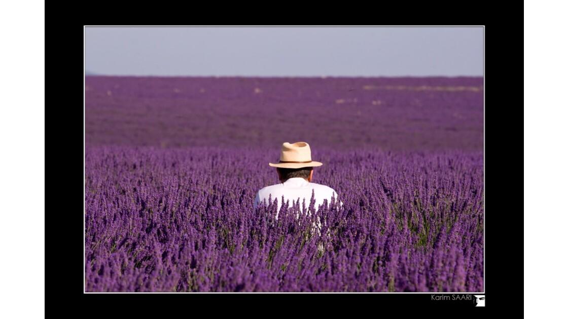 Lavande de Provence à Valensole