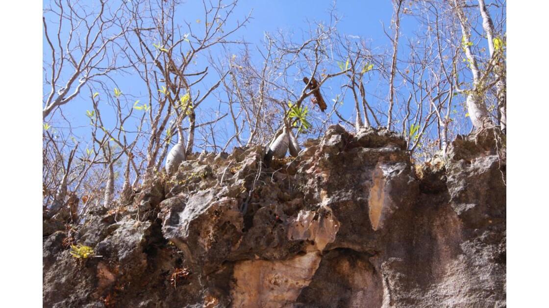pachypodiums haut de falaise