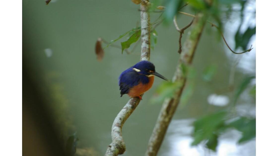 Kingfisher Azur