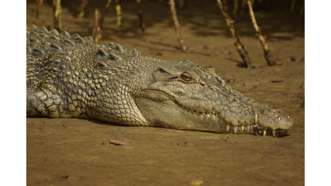 Crocodile d'estuaire