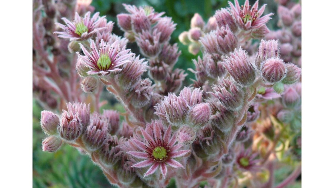 fleurs de cactée