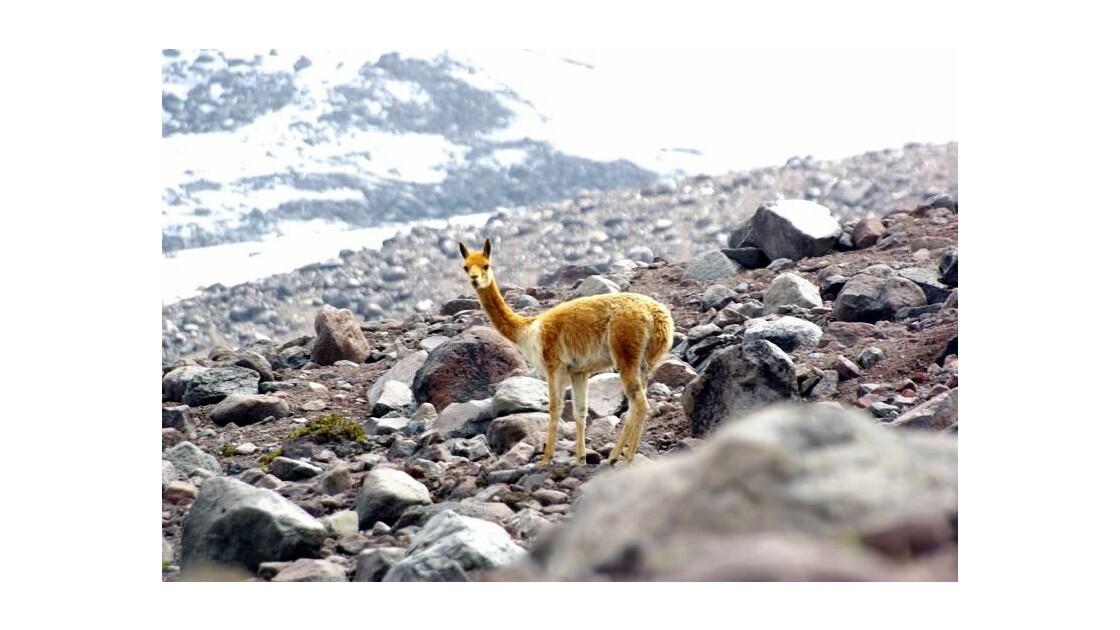 Alpaga au Chimborazo