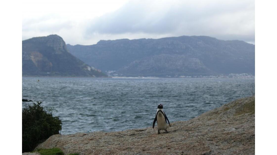 Pingouin du Cap