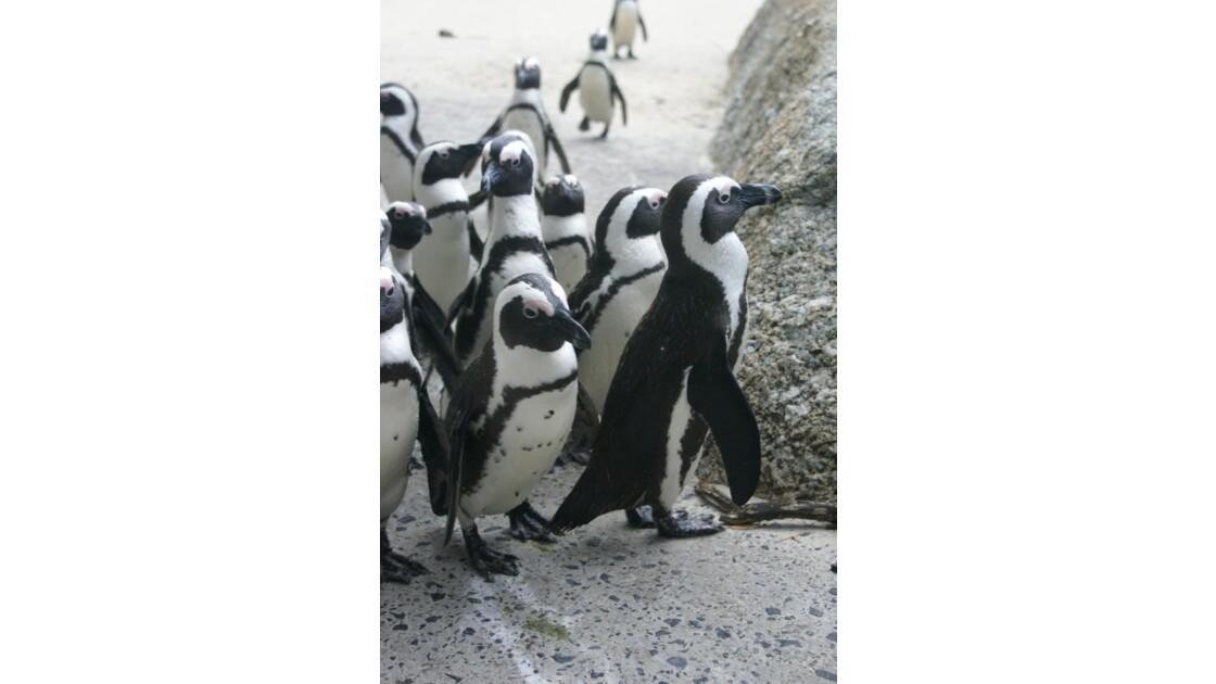 Pingouin du Cap 2