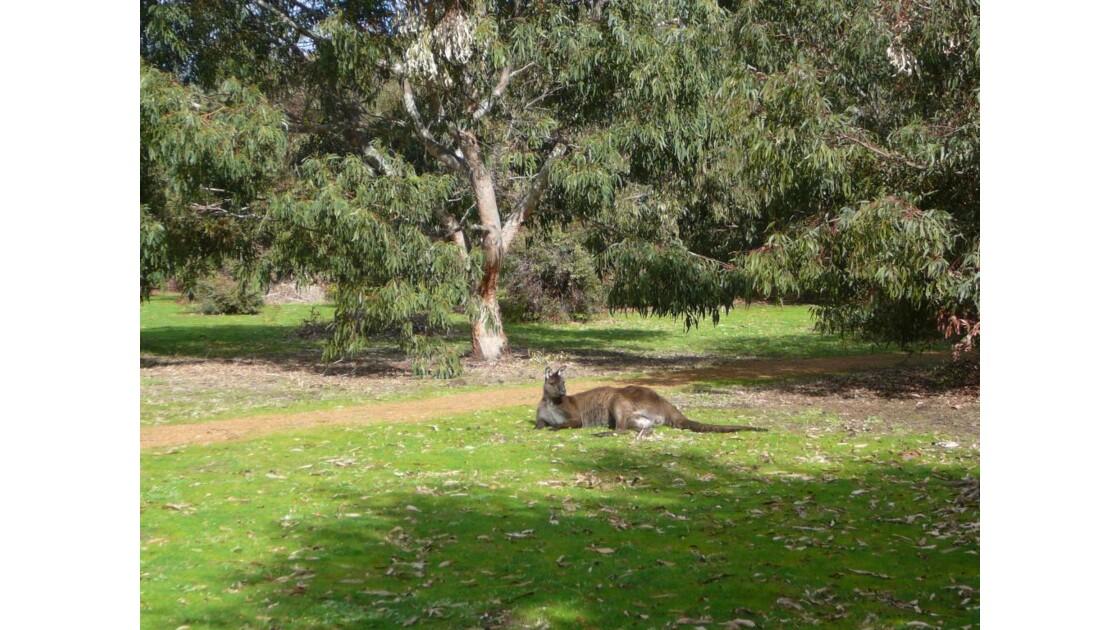 Kangaroo_Island___Grand_Kangourou_roux.