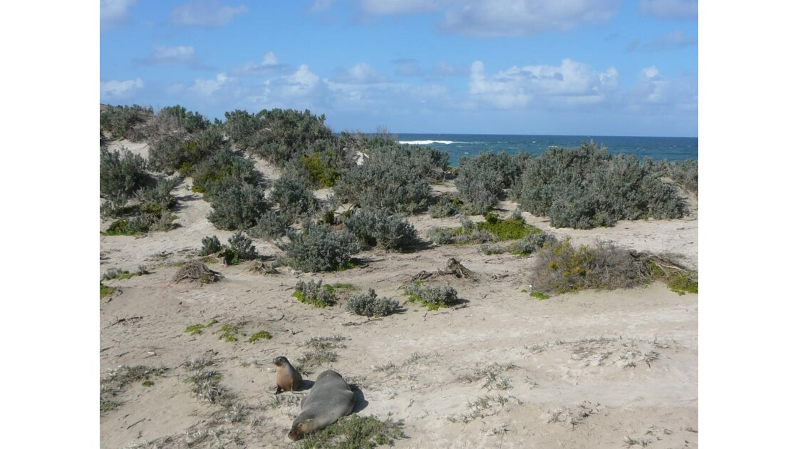 Kangaroo_Island___Seal_Bay_avec_phoques
