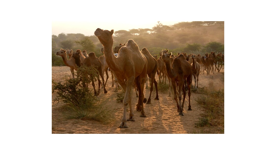 Un troupeau. Route sur le Camel Ground.