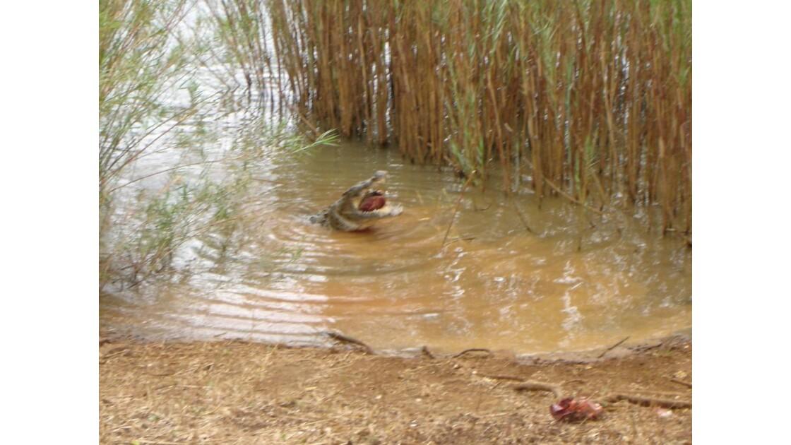 Ancêtre crocodile invité à la fête 2