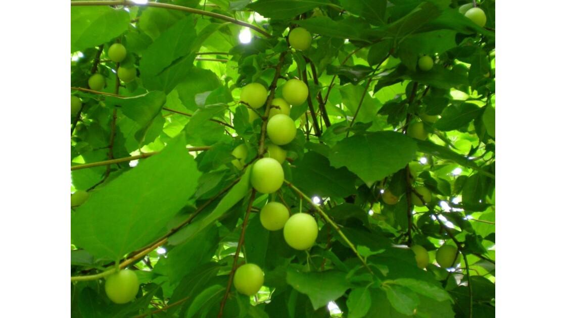 Les  Fruits Verts d'été.JPG