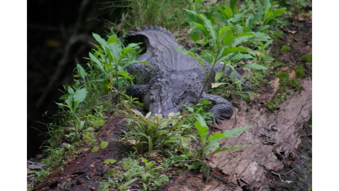 crocodile__2_.JPG