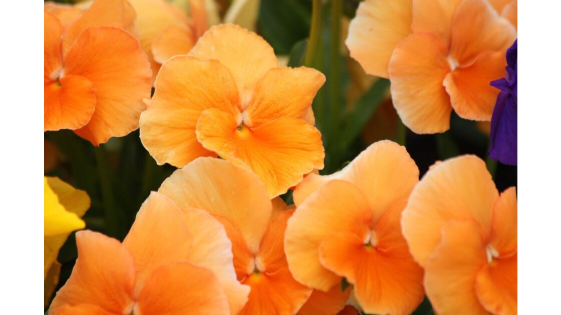 Orange en pensée