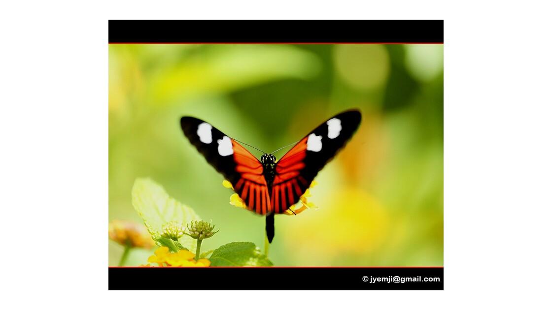 Papillons 221